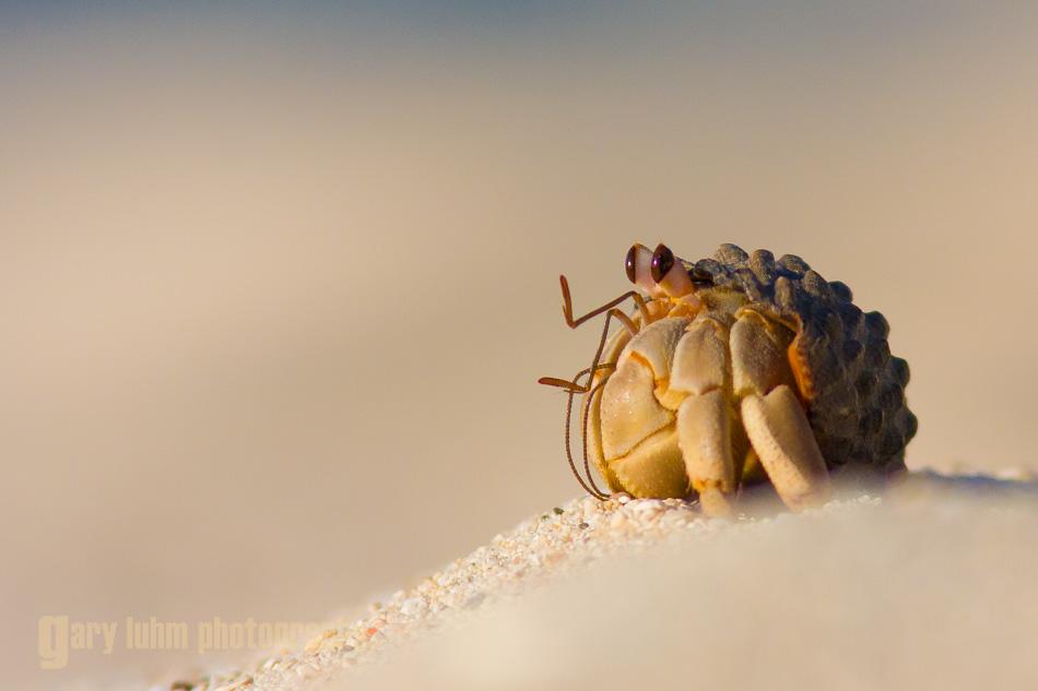Hermit Crab, Baja