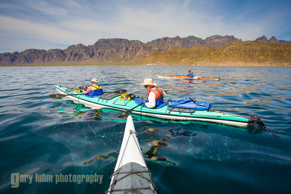 Whale Shark just under the surface among the sea kayakers. Baja, MX.