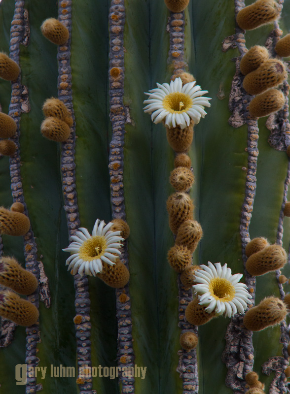 Cardon Cactus flowers. Isla Carmen, Baja, Mexico.