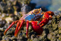Sally Lightfoot Crab, Baja, Mexico