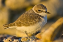 Snowy Plover in warm morning light.