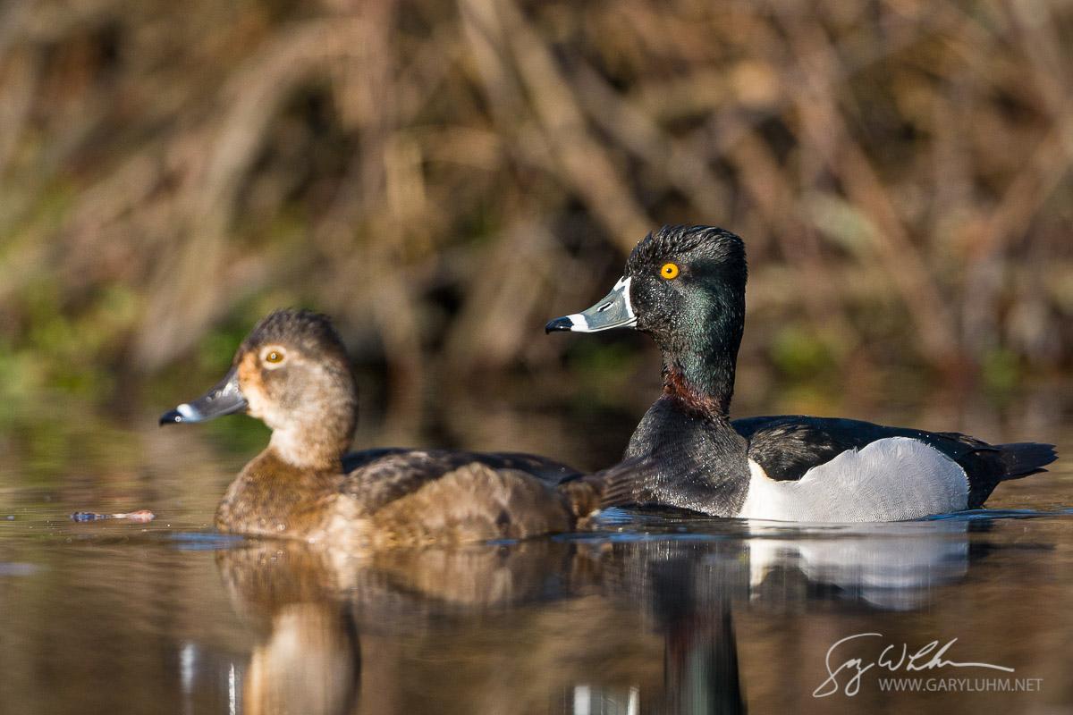Male and female Ring-necked Ducks on lake near Union Bay, Lake Washington, Seattle.