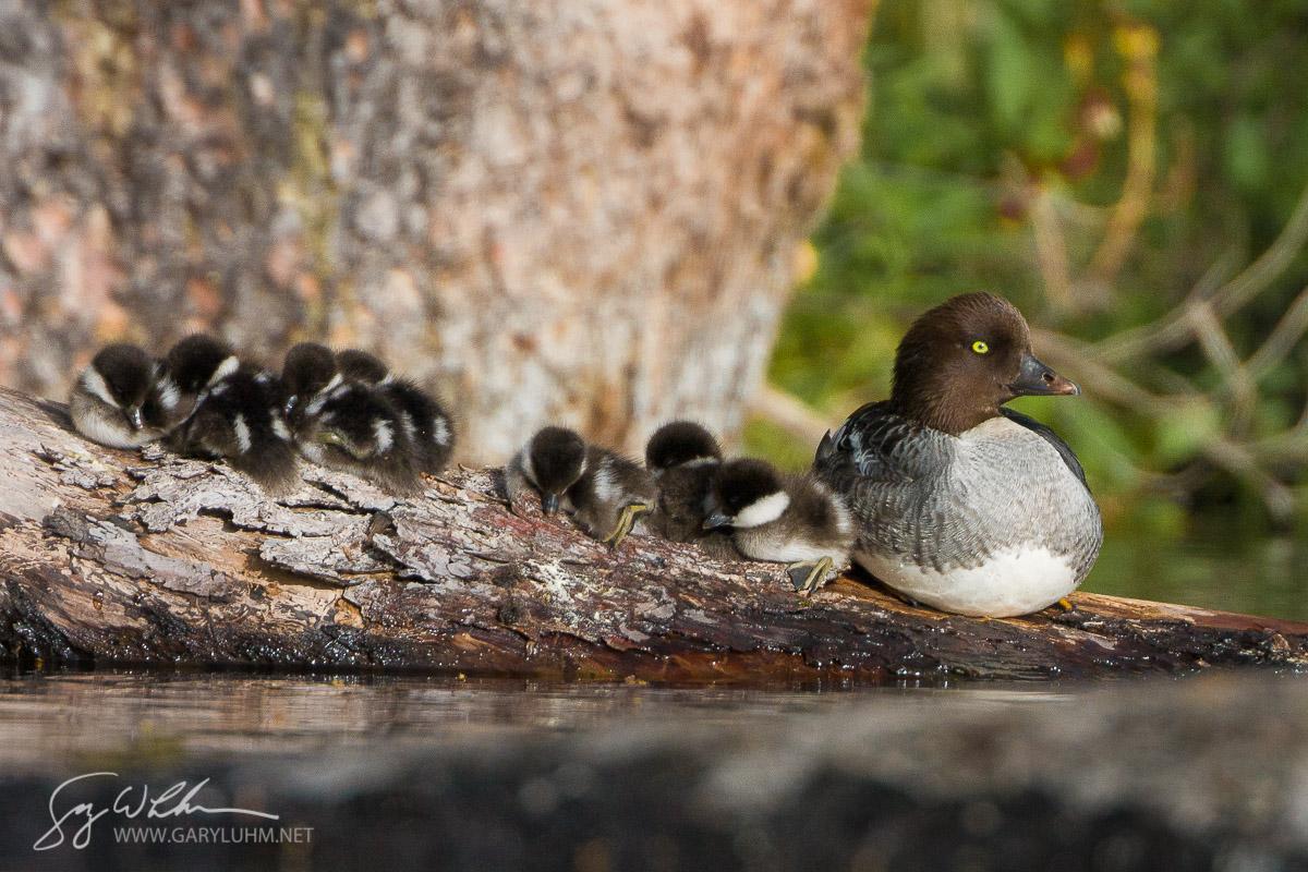 Common Goldeneye, female, chicks, roost. British Columbia, Canada.