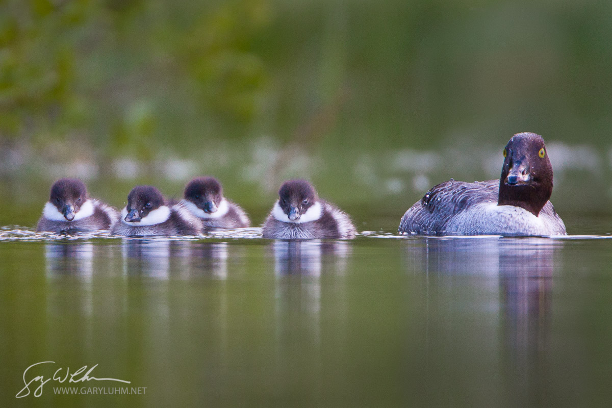 Common Goldeneye, female, chicks, swimming. British Columbia, Canada.