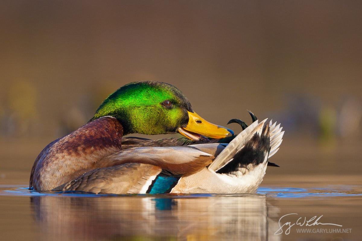 Mallard, male, preening. Lake Washington, Seattle.