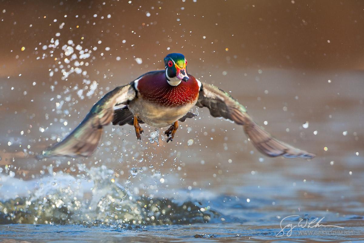 Wood Duck,male, flight, take-off. Lake Washington. Seattle.