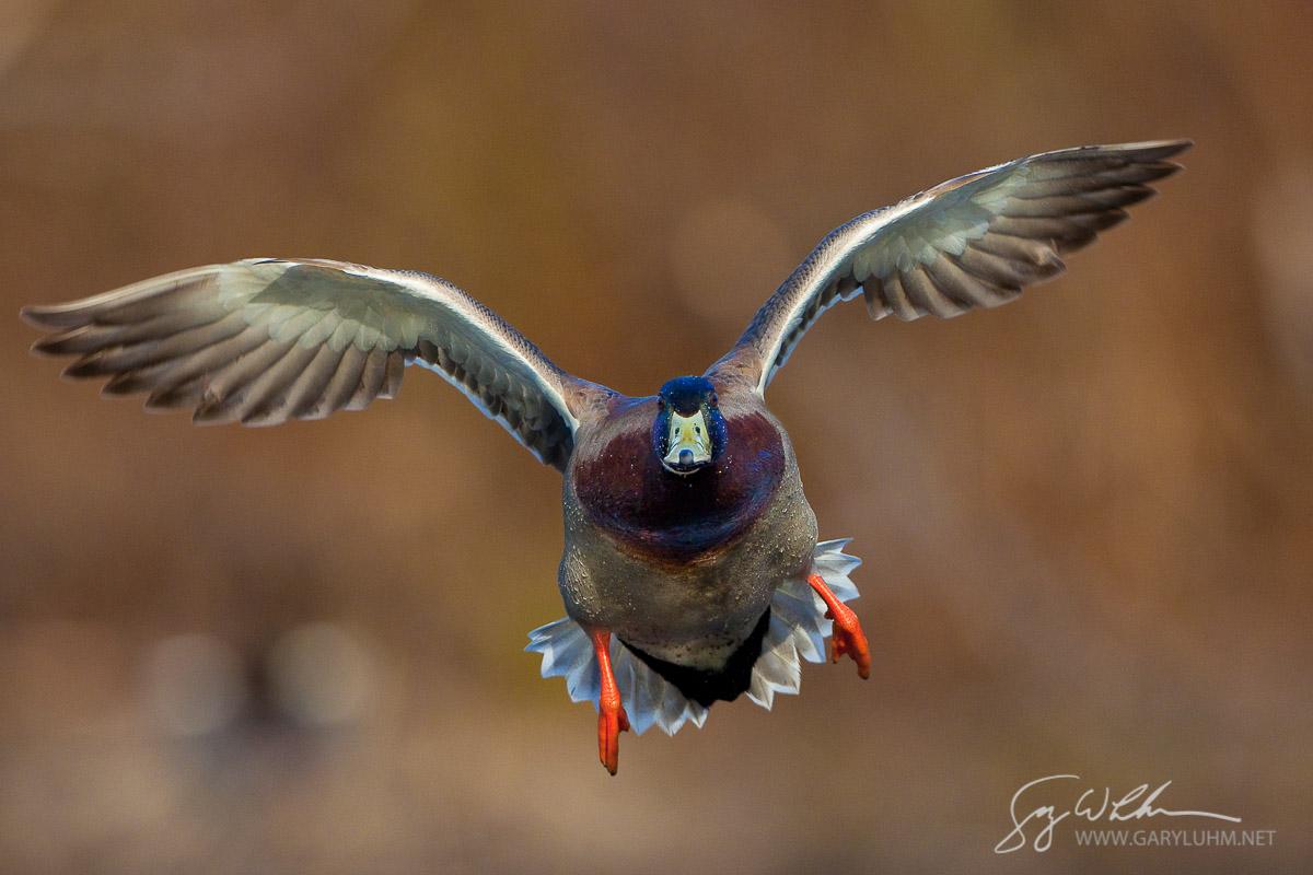 Mallard, male, flight. Lake Washington, Seattle.