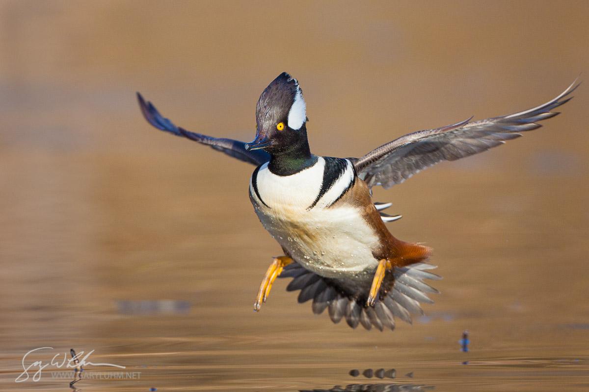 Hooded Merganser,male, flight, landing. Lake Washington. Seattle.