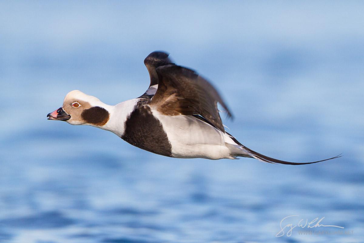 Long-tailed Duck, male, flight. Drayton Habor, Blaine, Washington.