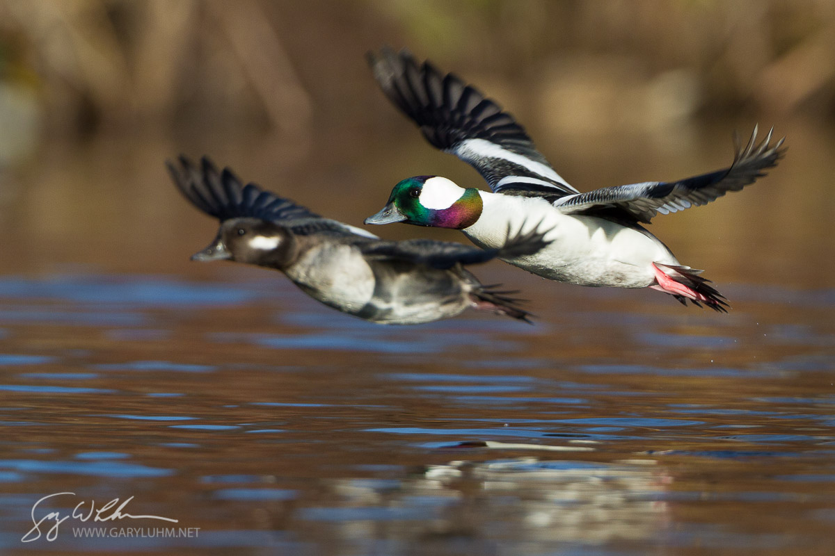 Bufflehead, male, female, in flight. Union Bay, Lake Washington, Seattle, Washington.