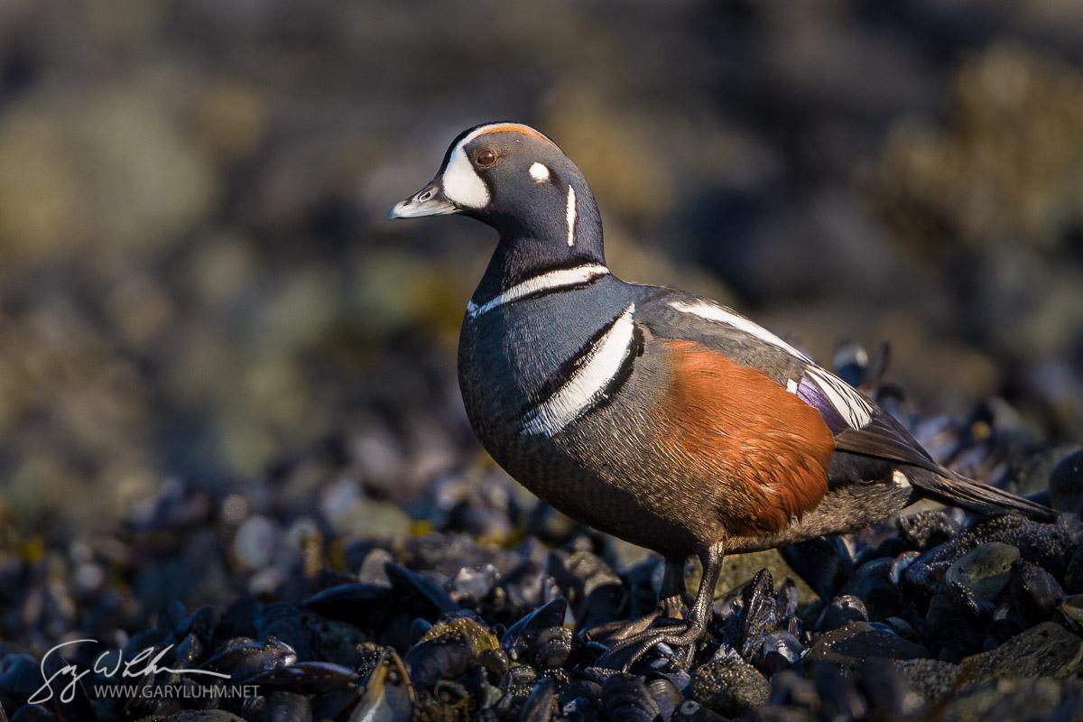 Male Harlequin Duck, Blue Mouse Cove, Glacier Bay, Alaska.