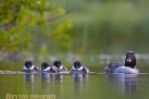 Common Goldeneye, female, chicks, swimming. British Columbia, Canada.