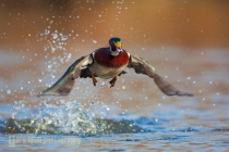 Wood Duck,male, flight, take-off. Lake Washington. Seattle.