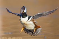 Hooded Merganser,male, flight, landing. Lake Washington. Seattle.