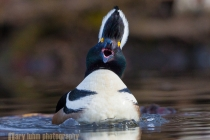 Hooded Merganser, male, display. Lake Washington, Seattle.