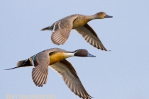 Male and female Northern Pintail in flight. Drayton Harbor, Blaine. Washington.