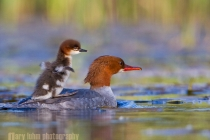 Common Merganser chick on back of female. Lake Sammamish, Washington.