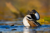 Hooded Merganser (Lophodytes cucullatus), male, display. Lake Washington, Seattle.