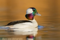 Bufflehead, male, showing iridescence. Union Bay, Lake Washington, Seattle, Washington.