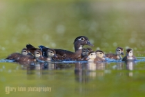 A female Wood Duck (Aix sponsa) is surrounded by her young ducklings on a Washington State pond. Seattle, Washington.