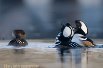 Trio of male Hooded Mergansers harass a female. Lake Washington, Seattle.