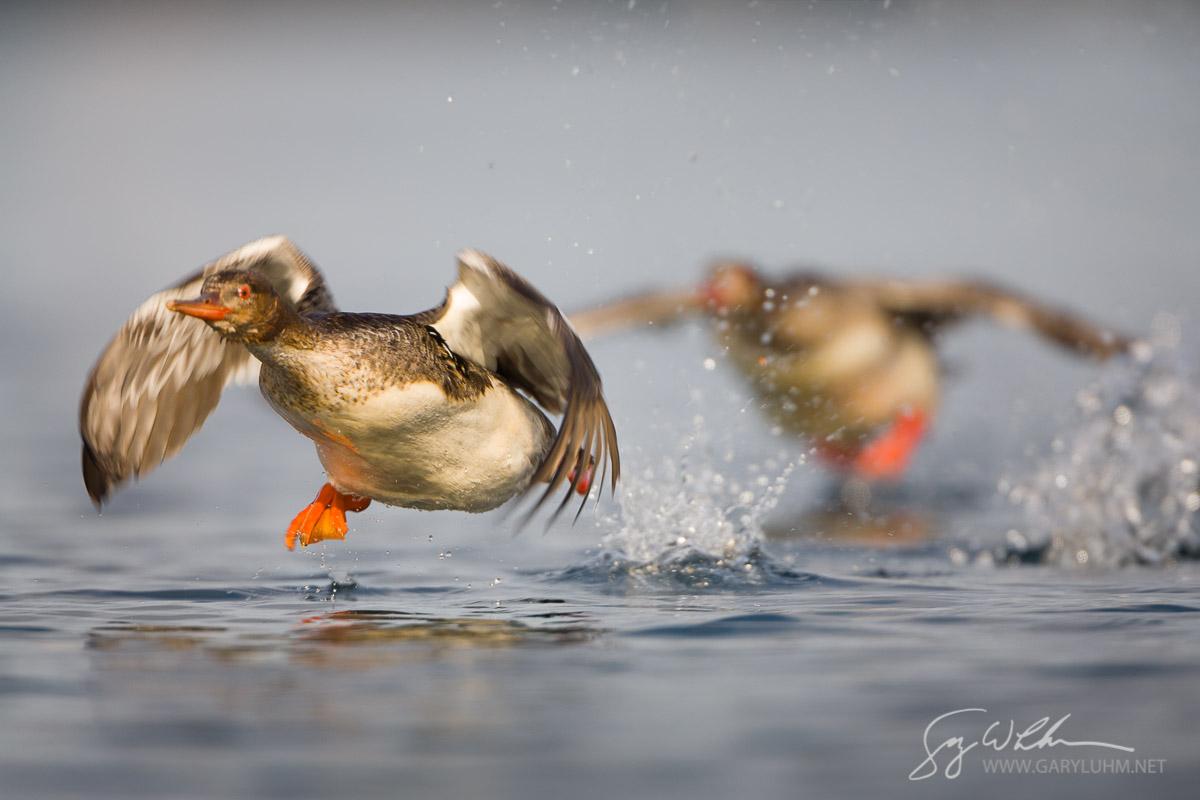 Female Red-brested Mergansers take flight. Puget Sound, Washington.