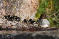 Common Goldeneye, female, chicks, roost. British Columbia, Canada.