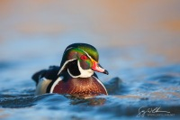 Wood Duck, male, on the water. Lake Washington, Seattle.