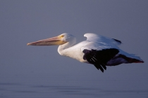 White Pelican. Headed for a roost after an early morning feed. Ding-Darling National Wildlife Refuge, Sanibel Island, Florida.