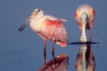 Roseate Spoonbills. Early morning light reflections in the still water of Ding-Darling NWR. Sanibel Island, FL.