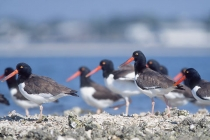 Observed while on a kayak paddle from Cedar Key, American Oystercatchers assemble at an oyster bar. Cedar Key, Florida.