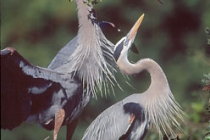 Male Great Blue Heron delivers a nest-building stick to a receptive female. Venice Rookery, Venice, FL.