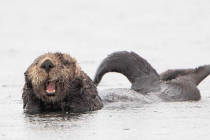 Sea Otter. Under a steady rain, Home Shore motors past a group of sea otters in West Chichagof, AK.