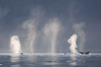 Sea of Smokes. Humpback Whales spout in Icy Strait, Southeast Alaska.