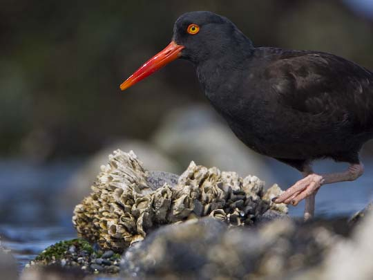 One of my favorite Black Oystercatcher images; caught in mid-stride prowling the intertidal.