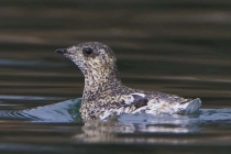 We saw more than a few Kittlitz\'s Murrelets. They may be doing well in the park, for now.