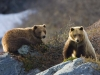 Coastal grizzlies are called Brown Bear. Here a sow and cub on the rocky shore above John Hopkins inlet.