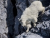 It\'s hard to miss the many Mountain Goats, mostly along the steep-walled northern shores of Glacier Bay.