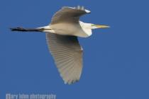 Great Egret in flight, Potholes Reservior, Moses Lake, Washington.