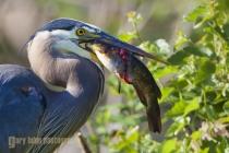 Great Blue Heron, with catfish, Union Bay, Lake Washington, Seattle, Washington.