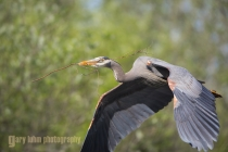 USA, Washington State. Male Great Blue Heron (Ardea herodias) flies with branch in bill toward nest, for courtship and nest building.