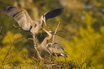 Great Blue Heron male bringing stick to mate at nest, Kirkland, Washington.