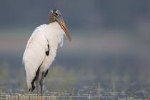 Wood Stork, Myakka River State Park, Florida.