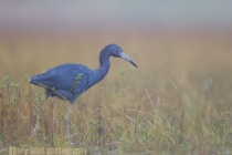 Little Blue Heron, Myakka River State Park, Florida.