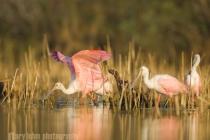 Roseate Spoonbill, feeding, Myakka River State Park, Florida.