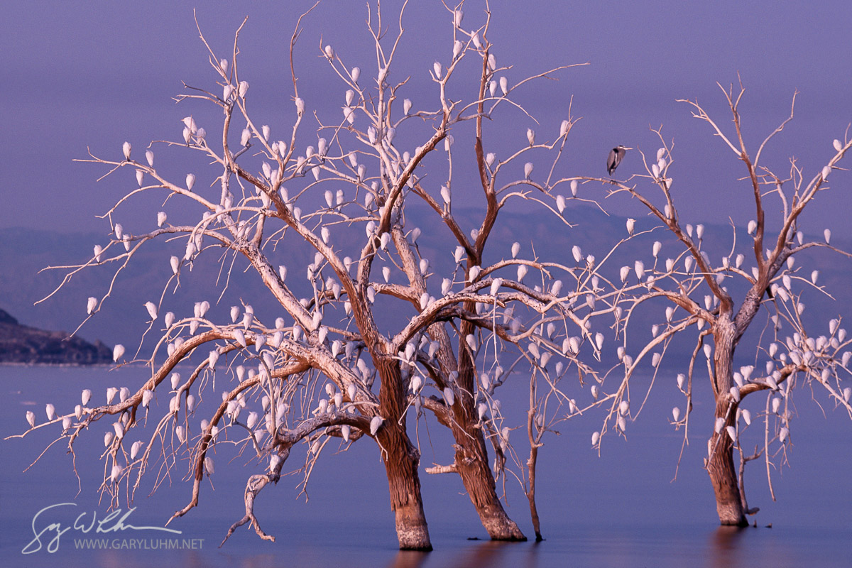 Cattle Egrets, with one lone Great Blue Heron, roost in dead trees on the Salton Sea, California.