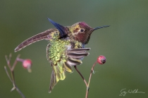 Adult male Anna's Hummingbird stretches on a perch.