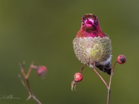 Adult male Anna's Hummingbird flashes his gorget.