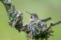 Anna's Hummingbird at nest
