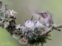 Anna's Hummingbird at nest.